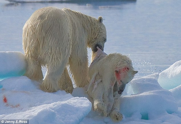 A polar bear drags the corpse of a tiny polar bear cub that it has caught and killled. Bears usually hunt seals, but will attack and eat their own kind