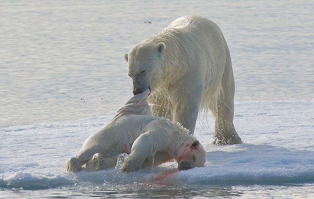 Cannibalism is not unknown in polar bears - but scientists have recently observed that the behaviour is on the increase among the animals